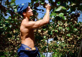 キウイを収穫するマッチョ@著作権フリー画像 農家