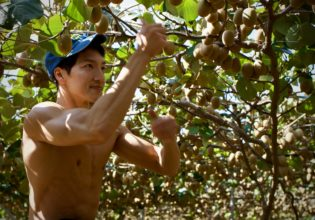 キウイを高速で収穫するマッチョ@農家 画像  フリー
