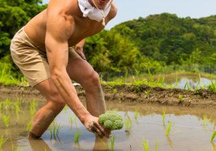 田んぼにブロッコリーを植えるマッチョ/reference photo muscle rice field@著作権フリー 画像 筋肉